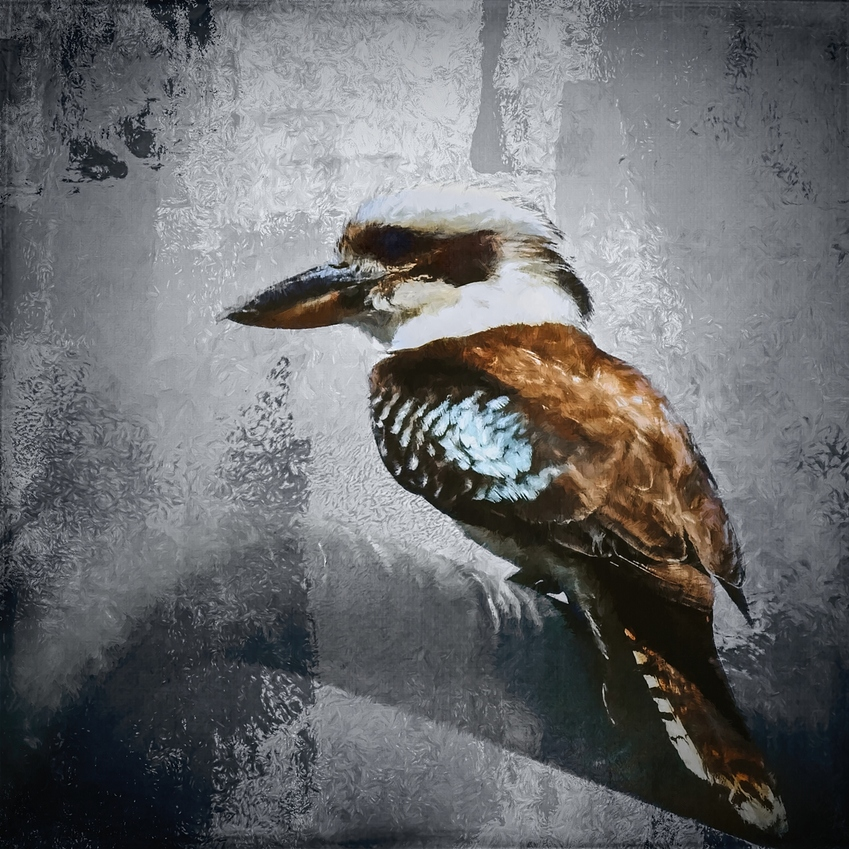 a%20watching%20kookaburra%20blackmoody