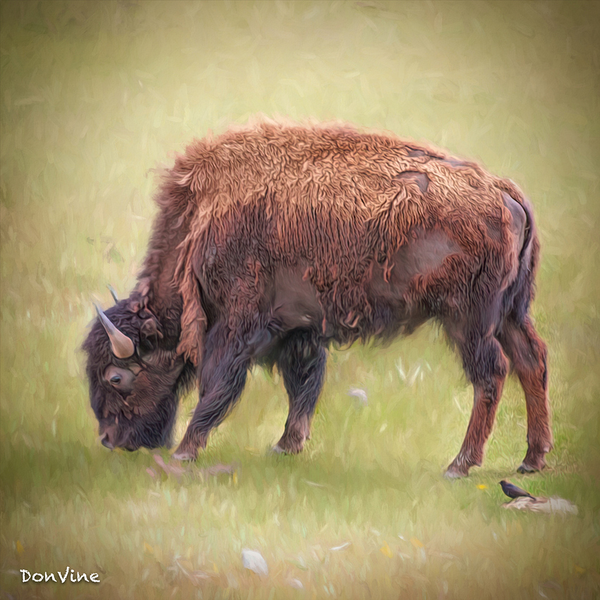 Bison%20with%20a%20Tic%20Remover_(Big%20Sky%20-%20Montana)_040524_155556_154-XSIQ