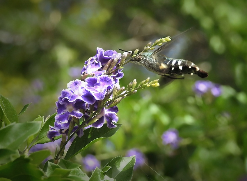 a%20hummingbird%20moth
